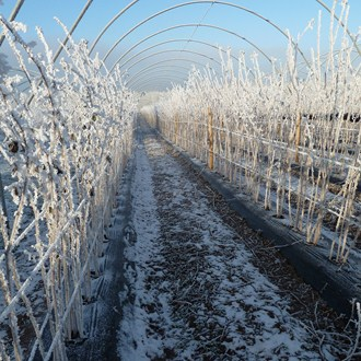 Frost On Rasps Dec 10
